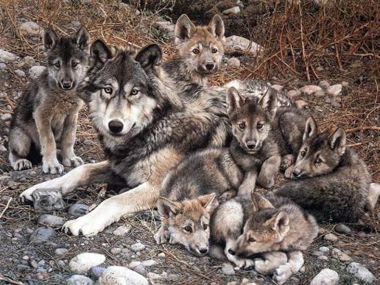 lobo iberico familia