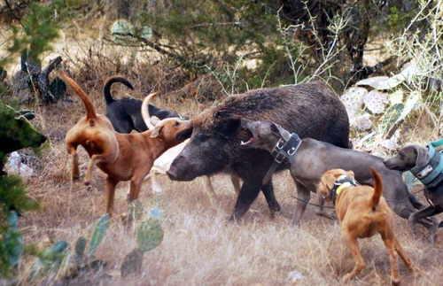 perros-cazando-jabali-06