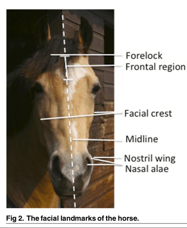 la incomodidad del caballo cae